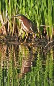 Green Heron © Doris Evans