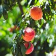 Pick-your-own peaches / Apple Annie's Orchard
